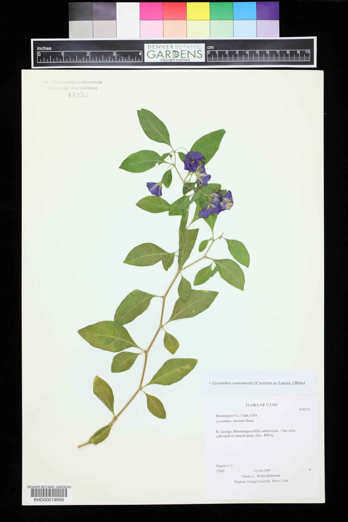 Lycianthes rantonnettii image