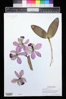 Image of Cattleya loddigesii