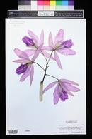 Image of Cattleya maxima