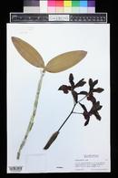Image of Cattleya bicolor