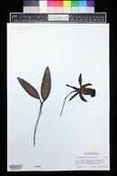 Image of Cattleya dormaniana