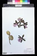 Image of Cattleya aclandiae