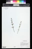 Image of Salvia taraxacifolia