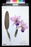 Image of Cattleya trianae