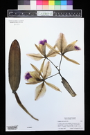 Image of Cattleya jenmanii