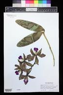 Image of Cattleya amethystoglossa