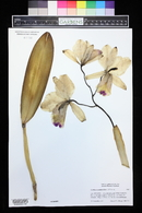 Image of Cattleya quadricolor