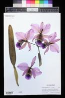 Image of Cattleya percivaliana