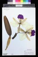 Image of Cattleya warscewiczii