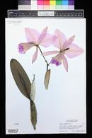 Image of Cattleya gaskelliana