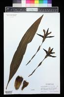 Lycaste macrophylla image