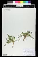 Rorippa curvipes image