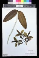 Image of Cattleya granulosa