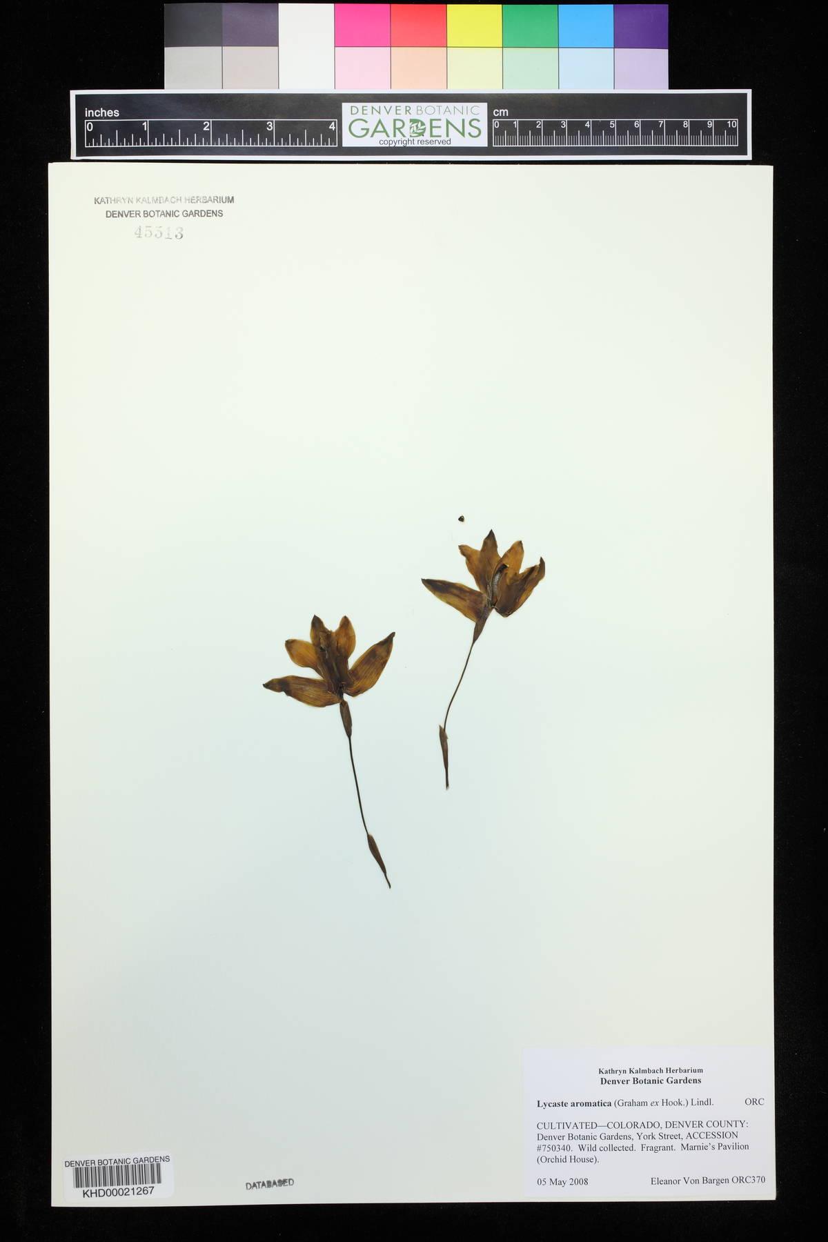 Lycaste aromatica image