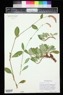 Image of Bistorta affinis