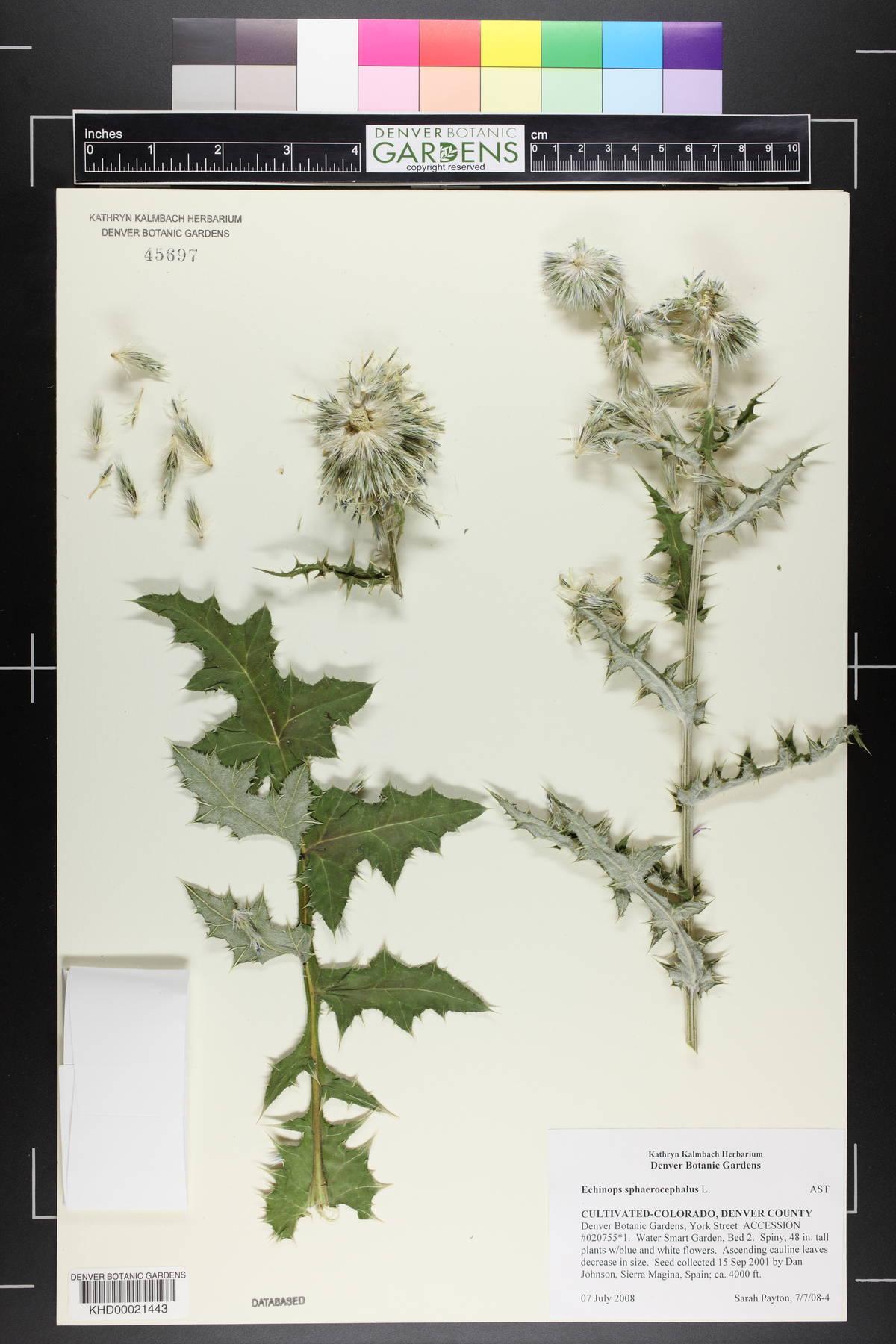 Echinops image