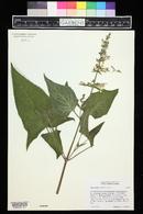 Image of Salvia nubicola