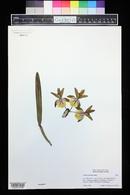 Image of Cattleya luteola