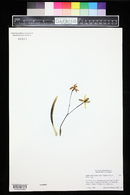 Image of Cattleya bradei
