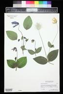 Clematis integrifolia image