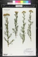Image of Achillea abrotanoides