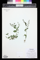 Veronica catenata image