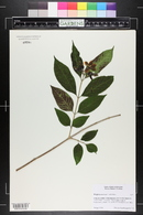 Image of Wrightia coccinea