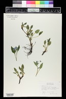 Image of Omphalodes verna