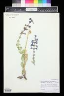 Penstemon pachyphyllus var. mucronatus image