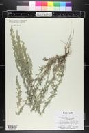 Artemisia campestris image
