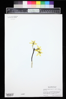 Image of Cattleya briegeri