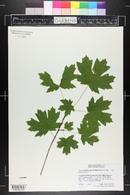 Acer grandidentatum var. grandidentatum image