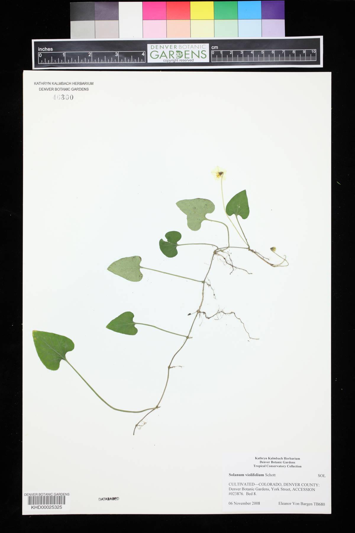 Solanum violifolium image