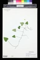 Image of Solanum violifolium