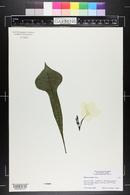 Image of Plumeria pudica