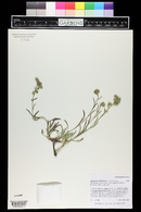 Oreocarya suffruticosa var. setosa image