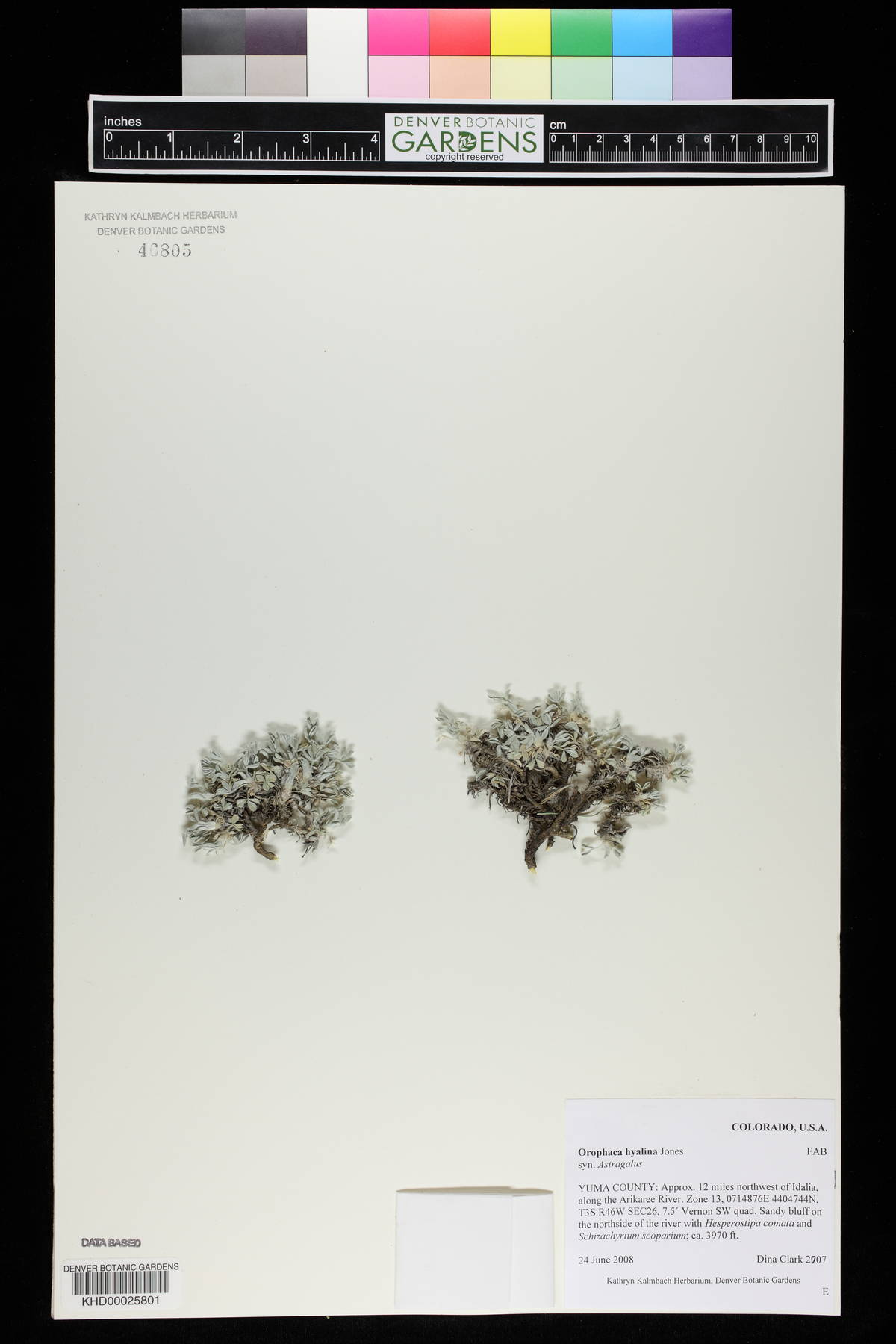 Astragalus hyalinus image