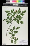 Image of Caesalpinia granadillo