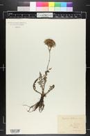 Cirsium tuberosum image
