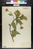 Image of Helianthus apricus