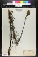 Lacinaria scariosa image