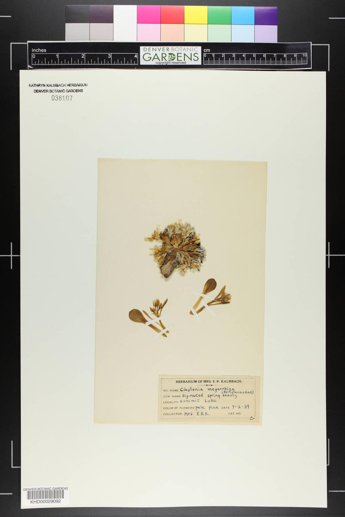 Claytonia megarrhiza image