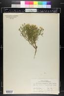 Tetraneuris linearifolia var. linearifolia image