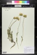 Xylorhiza venusta image