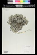 Image of Astragalus sericoleucus