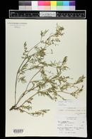 Image of Astragalus tenellus