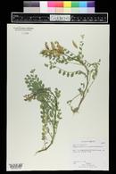 Astragalus mokiacensis image