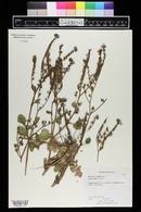 Phacelia petrosa image