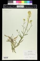 Image of Erysimum crepidifolium