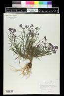 Image of Erysimum linifolium
